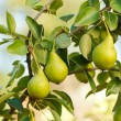 Pears on tree branch — Stock Photo #30731273
