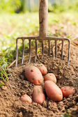 Red potatoes and digging fork — Stock Photo