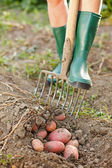 Digging up the potatoes — Stock Photo