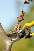 Garden scissors cutting dry branch — Stock Photo