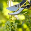 Pruner cutting grape tree — Stock Photo #30903153