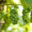 Unripe grape clusters — Stock Photo