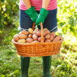 Stock Photo: Woman carrying potatoes in garden