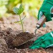 Stock Photo: Plant being planted in garden