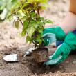 Planting a flower into earth — Stock Photo