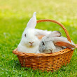 Two rabbits in basket — Stock Photo #30903993