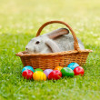 Grey rabbit in wicker basket along the colorful easter eggs — Stock Photo