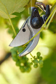 Pruner cutting grape tree — Stock Photo