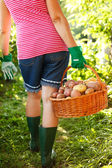 Woman carrying potatoes in garden — Stock Photo