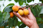 Hand showing peach on tree — Stock Photo