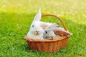 Dos conejos en la cesta — Foto de Stock