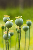 Poppy pods — Stock Photo