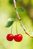 Sour Cherry Branch — Stock Photo