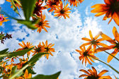 Echinacea flowers and sky — Stock Photo