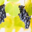 Stock Photo: Blue grape clusters (shallow DOF)
