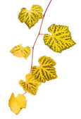 Grape branch with yellow leaves — Stock Photo