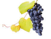 Single blue grape cluster with leaves — Stock Photo
