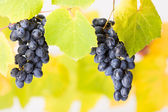 Blue grape clusters (shallow DOF) — Stock Photo