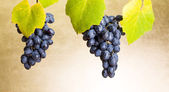 Blue grape clusters on white — Stock Photo