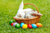 White and gray rabbit in wicker basket with colorful easter eggs — Stock Photo