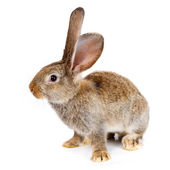 Brown rabbit on white background — Stock Photo