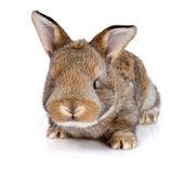 Brown baby rabbit — Stock Photo