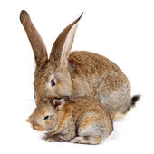 Rabbit with newborn bunny — Stock Photo