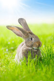 Brown rabbit — Stock Photo