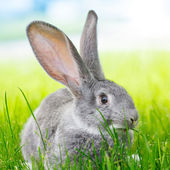 Gray rabbit — Stock fotografie