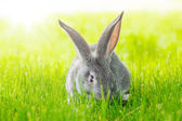 Grey rabbit in green grass — Stock Photo