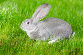Gray rabbit — Stock Photo