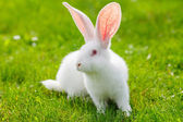 White rabbit — Stock Photo