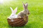 Two rabbits in wicker basket — Stock Photo