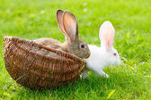 Two rabbits in wicker basket — Stock Photo