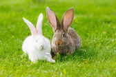 Two rabbits in green grass — Stock Photo