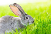 Portrait of gray rabbit — Stock Photo