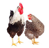 Rooster and chicken — Stock Photo
