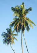 Palm trees against a beautiful clear sky — Stock Photo