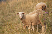 Beautiful White Sheep with Ear Chip in Switzerland at Sunset — Stock Photo