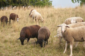 White Sheep and Brown Sheep grazing in a field in Switzerland — Stock Photo