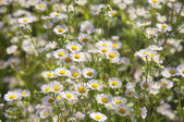 A Bed of White Daisies — Stock Photo