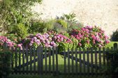 Hydrangeas Behind a Wooden Gate — Stock Photo