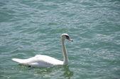 Um belo cisne — Fotografia Stock