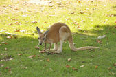 A Red Kangaroo — Stock Photo