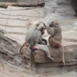 Stock Photo: Baboons Cleaning Each Other