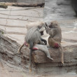 Baboons Cleaning Each Other — Stock Photo
