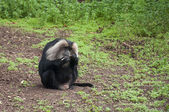 Baboon Cleaning His Teeth — Stock Photo