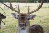 Reindeer — Foto Stock