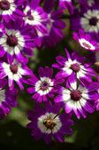 Purple Cineraria — Stock Photo