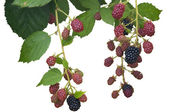 Ripe, Ripening, and Unripe Blackberries Isolated — Stok fotoğraf